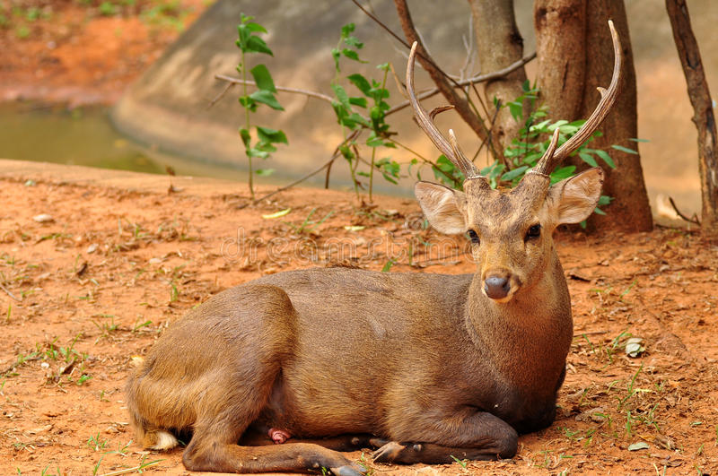 Download Deer on ground stock photo. Image of forest, africa, zoological - 34422428