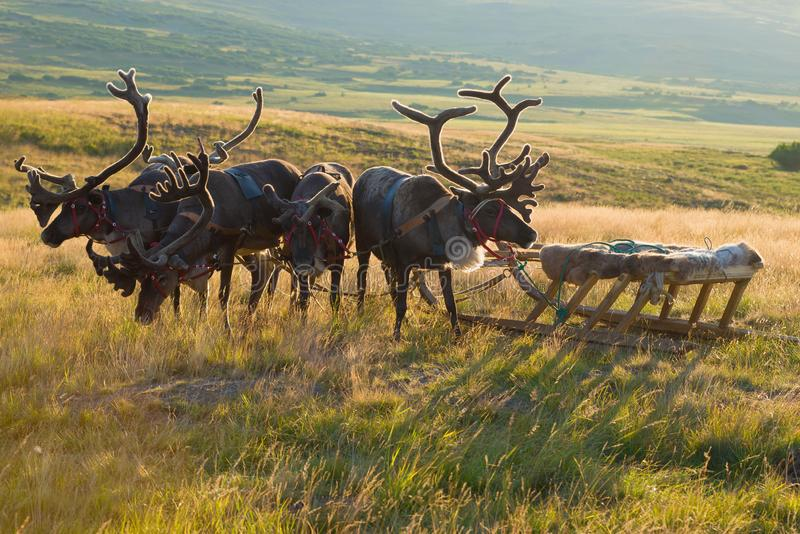 Deer harness with sledges close up, summer evening. Yamal, Russia. Deer harness with sledges close up on a sunny summer evening. Yamal, Russia stock photos