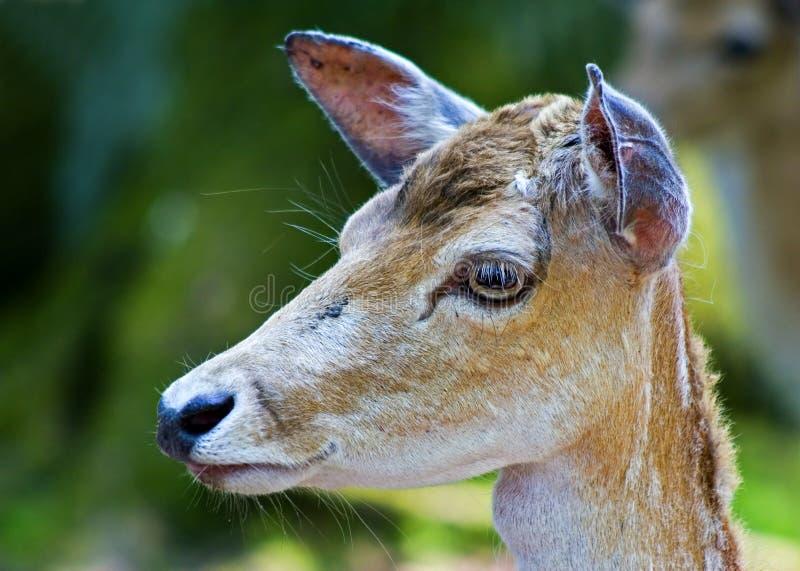 The deer head stock photo