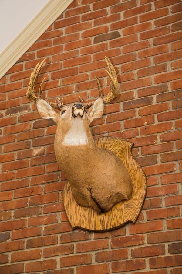 Deer Head Mounted on Brick Wall. Deer head with large rack mounted on brick wall royalty free stock image