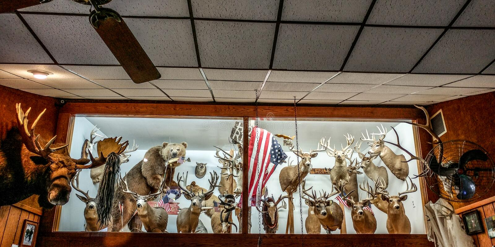 Deer Heads Hanging on Wall in Bar stock image