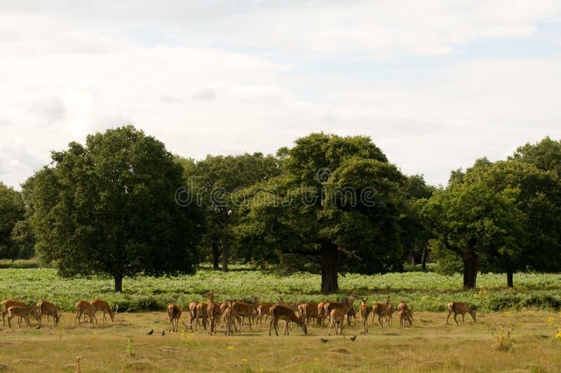 Download Deer Herd stock photo. Image of deer, animal, richmond - 20912404