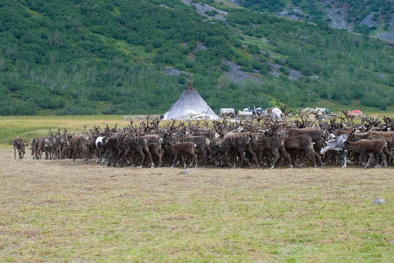 A deer herd returns to the reindeer herding camp. Yamal, Russia stock image