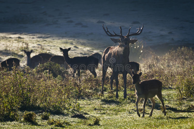 Deer with herd roaring on the meadow royalty free stock image