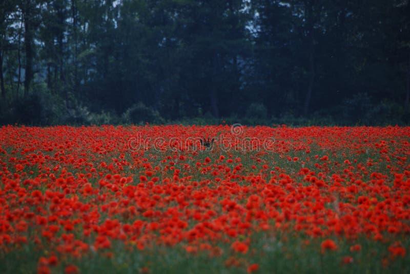 Deer hide in poppy field