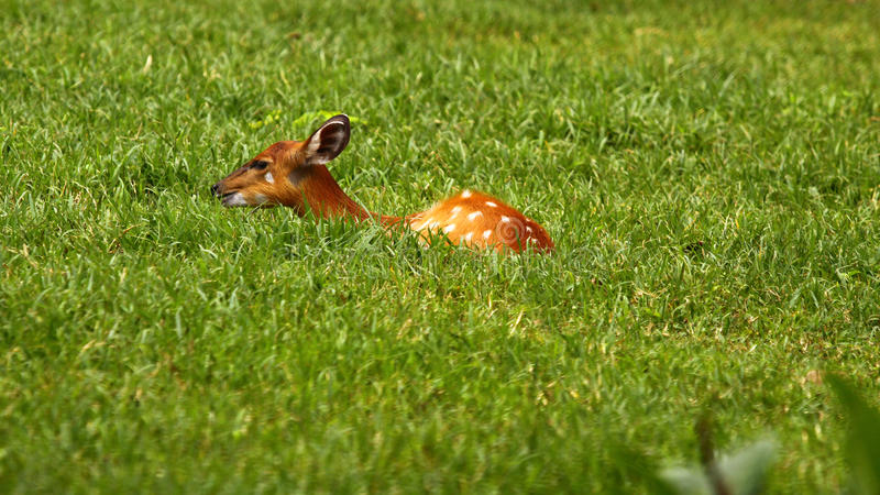 Deer Hiding On The Grass Royalty Free Stock Image