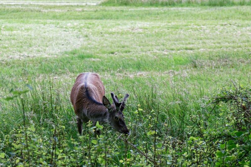 Deer in the Highlands - Escócia fotos de stock royalty free