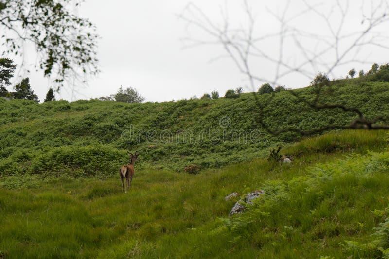 Deer in the Highlands - Escócia foto de stock