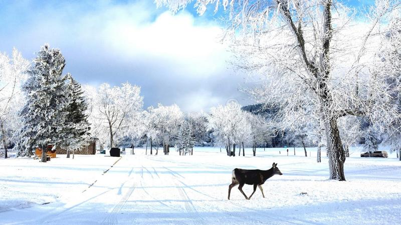 Deer in the Hoar Frost. White tailed deer meanders through the winter wonderland of newly lain hoar frost in Cypress Hills Interprovincial Park, Saskatchewan royalty free stock image