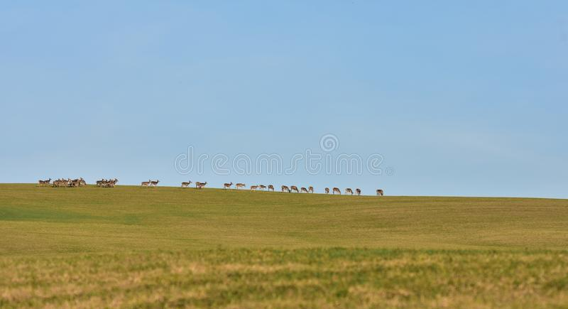 Deer on the horizont. Deer grazing the grass on the meadow on the horizont stock photography