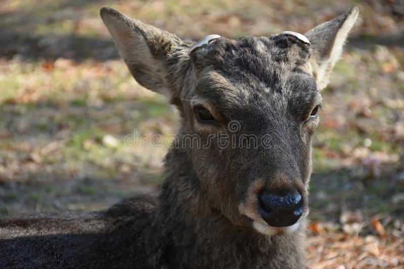 Deer without horn in Nara, Japan stock photo