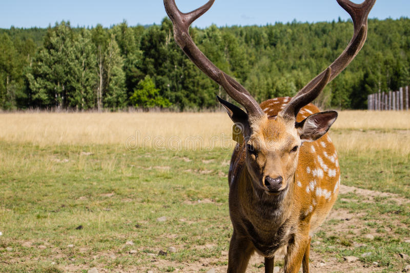 Download Deer with horns stock photo. Image of antlers, horn, spotty - 26172524