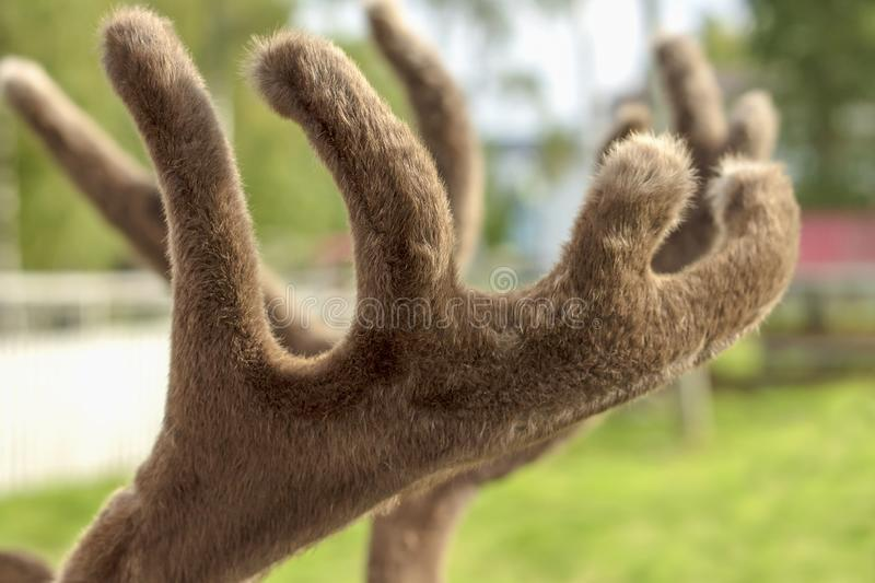 The deer horns covered with fluffy fur.  royalty free stock photo