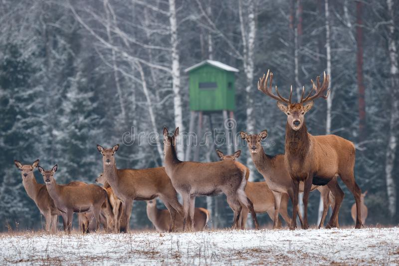 Deer Hunting In Winter Time. Group Of Noble Deer Cervus Elaphus , Led By Stag, Against The Backdrop Of Hunting Tower And Winte. R Birch Forest. A Herd Of stock photography