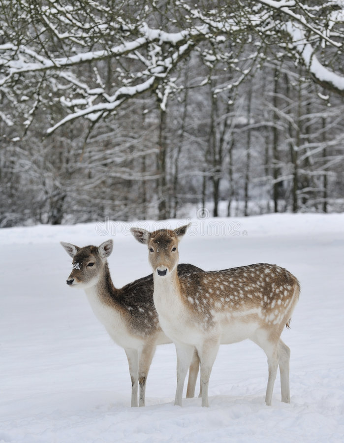 Free Deer In Field In Snow Stock Photos - 8059993