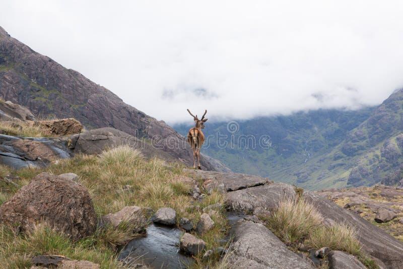 Deer, Isle of Skye royalty free stock images