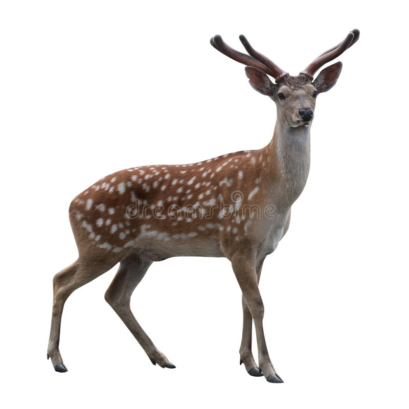 Deer isolated on white stock image