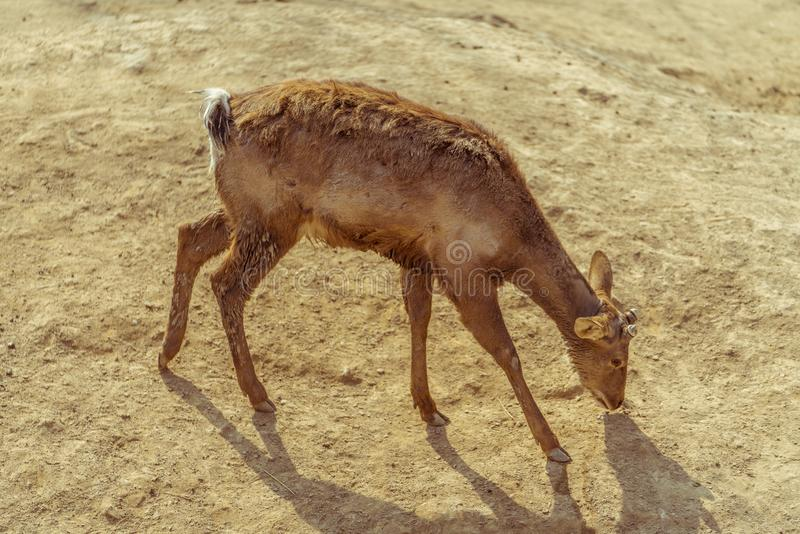 A deer with its head down. In search of food stock images