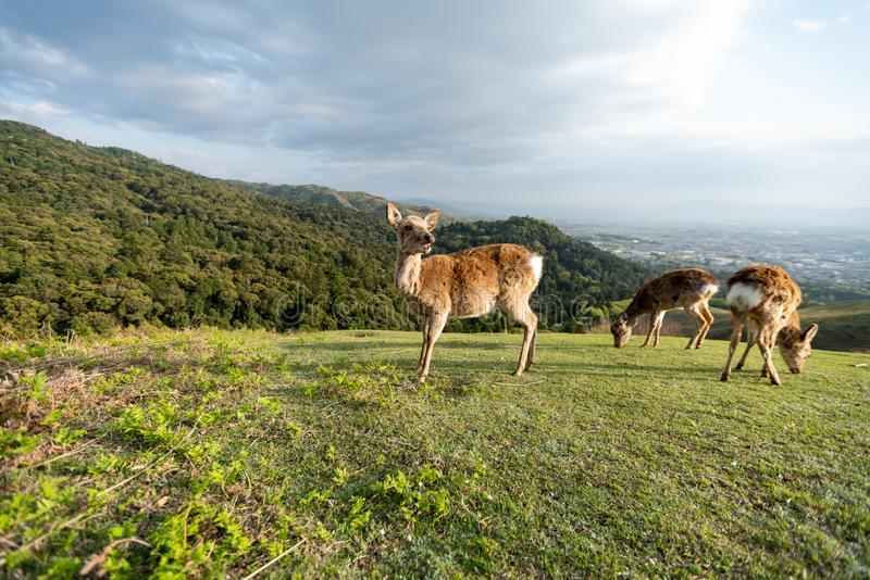 Deer in Japan on a mountain royalty free stock image