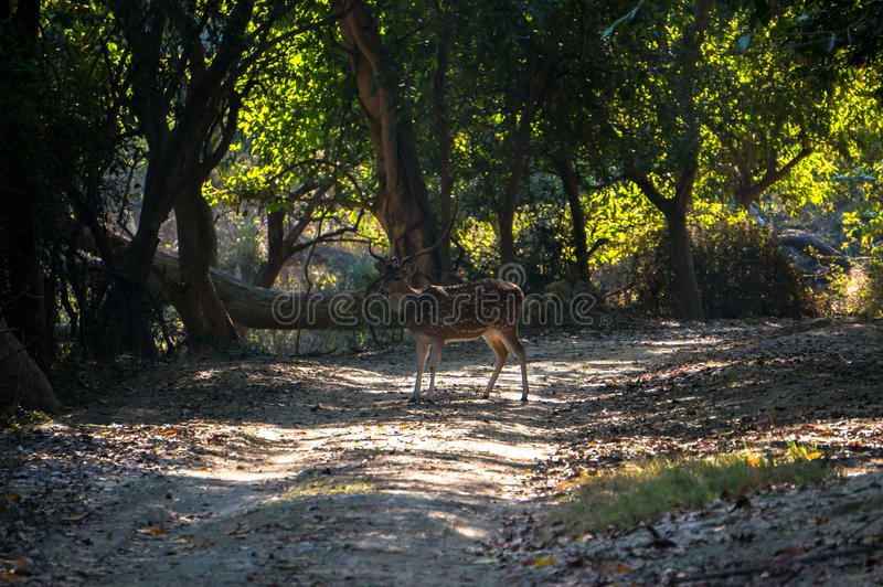 Deer in the jungle. In the wild forest in the national Park of the Indian stock image
