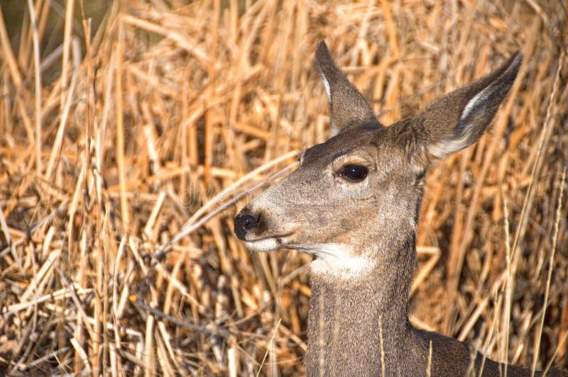 Deer Kead royalty free stock photography