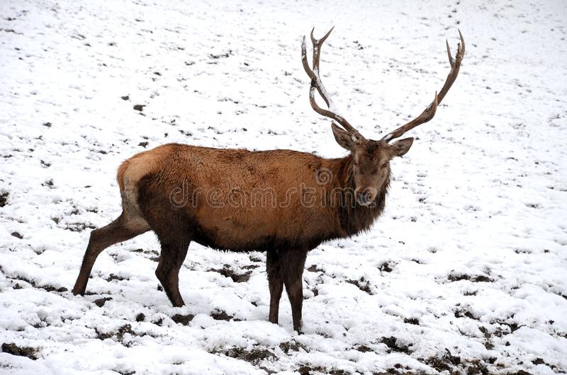 Deer with large horns. On the snow royalty free stock photo