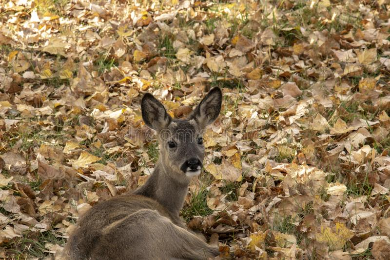 Deer laying in the grasses stock images