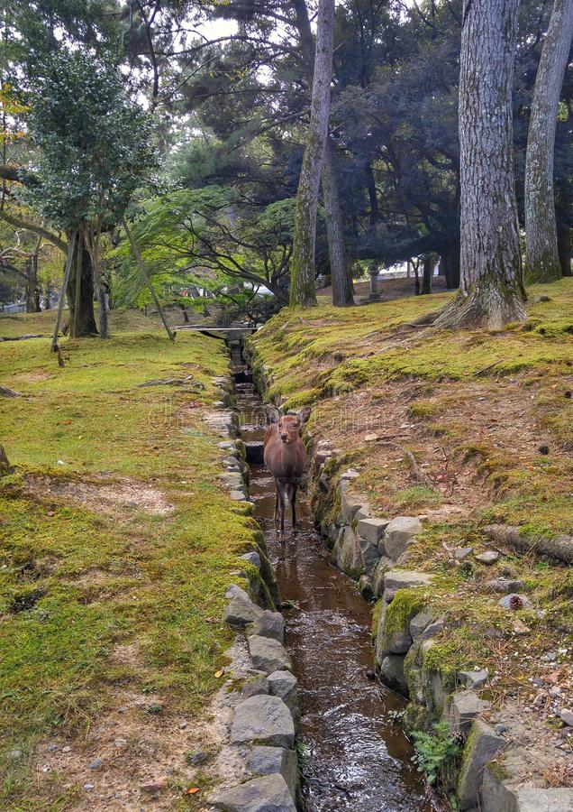 A deer life at the park. A deer life at the park,Nara Japan stock photos