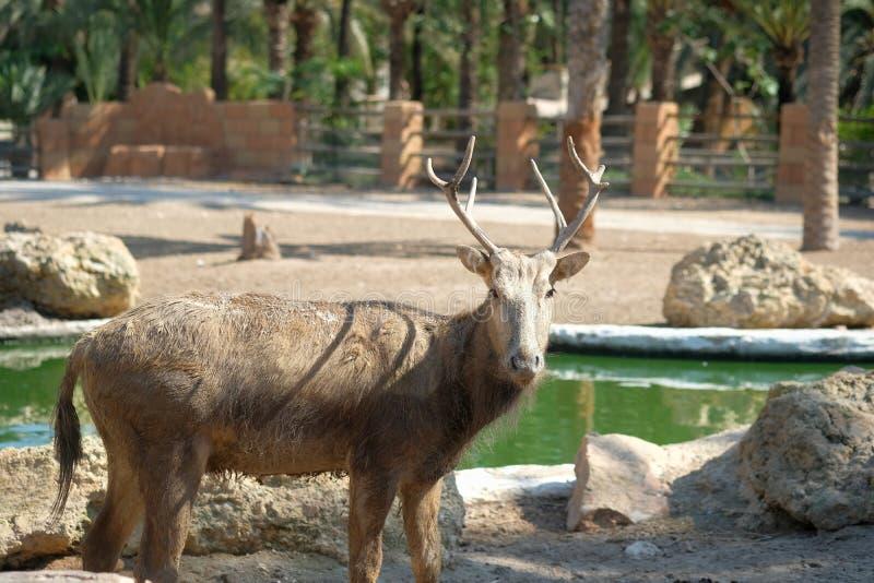 Deer looking at camera standing outdoors stock photos