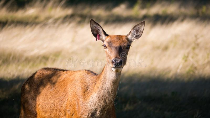 A Deer looking to you royalty free stock photography
