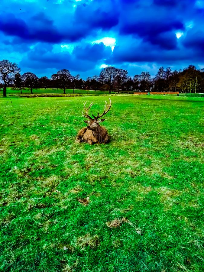 Deer lying on the grass in the Wollaton Hall Park in Nottingham, United Kingdom. Can be used with similar image no. 121465555 royalty free stock photography