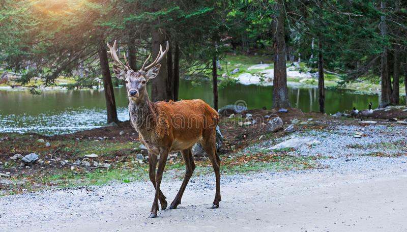 Deer at maturity age in the period of crossing with the female. Red deer on alert look for hunters. Hunting period of the cervus i stock photography