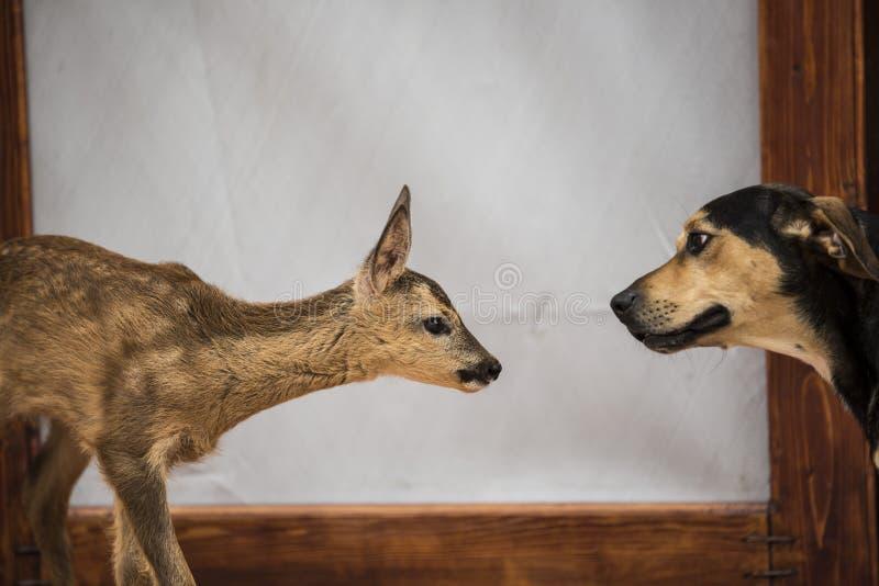 Deer meet dog stock photos