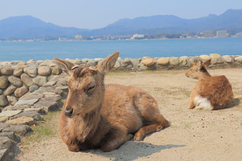 Deer in Miyajima Hiroshima Japan royalty free stock photography