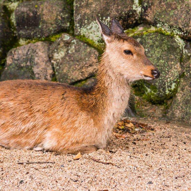 A deer on Miyajima Island stock images