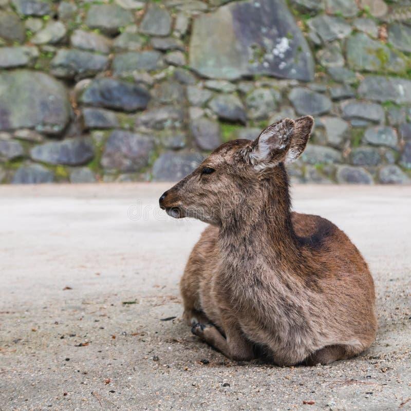 A deer on Miyajima Island royalty free stock image