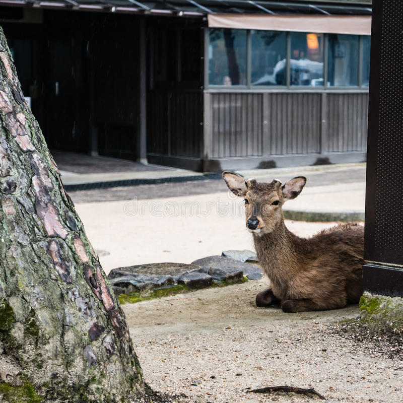 A deer on Miyajima Island royalty free stock images