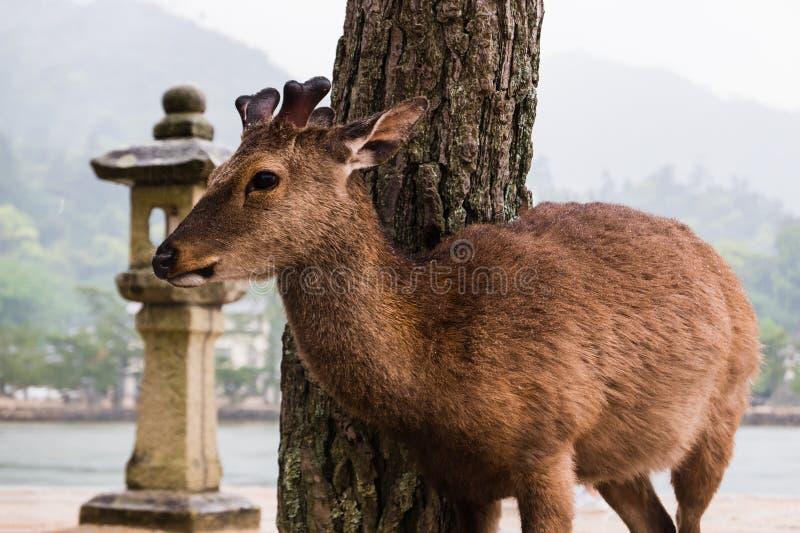 A deer on Miyajima Island royalty free stock photos