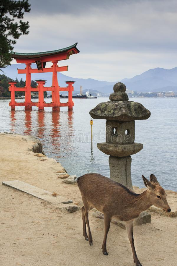 Deer in Miyajima Island royalty free stock photography