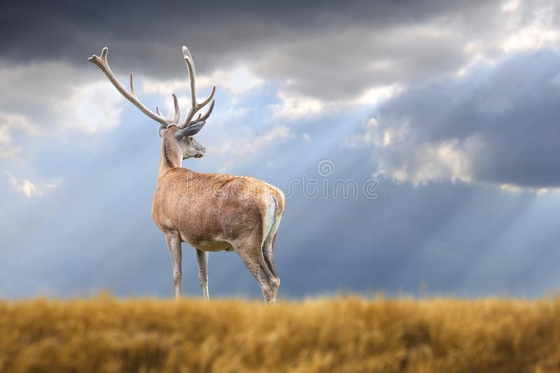 Deer on mountain background royalty free stock images