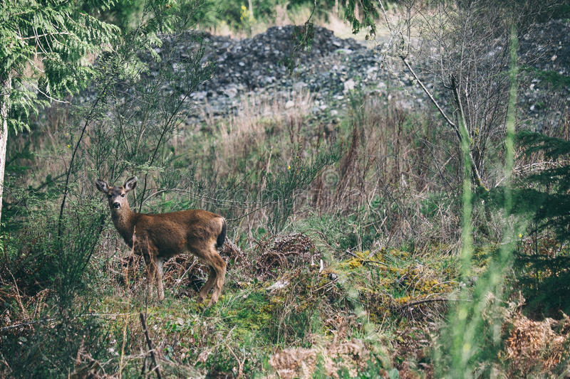Deer on mountain meadow stock photography