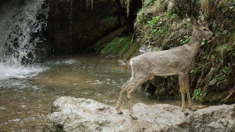 Deer at the mountain stream stock images