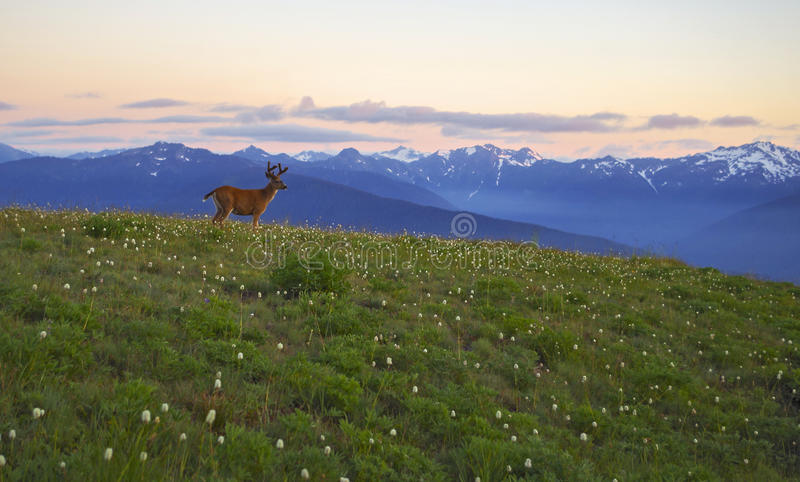Download Deer, Mountains And Meadows Hurricane Ridge, Olympic National Park Stock Photo - Image: 43055796
