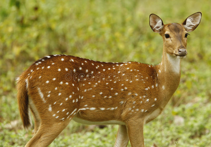 Deer. In mudumalai forest tamilnadu