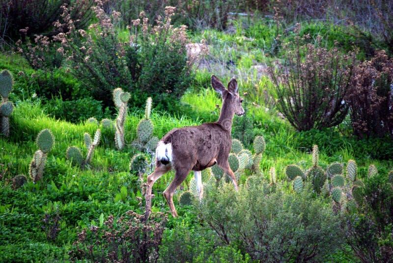 Download Deer in natural habitat stock photo. Image of deer, grass - 4438296