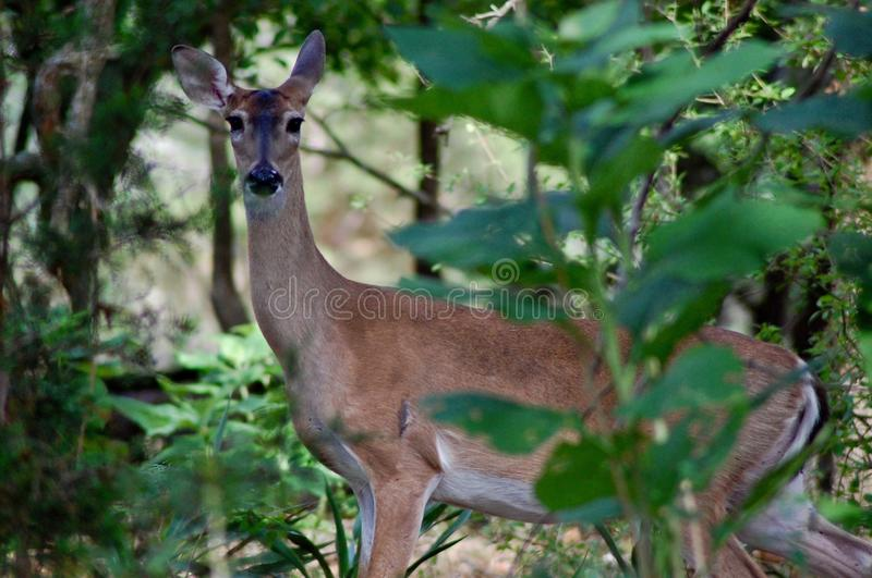 Deer In Nature royalty free stock photo