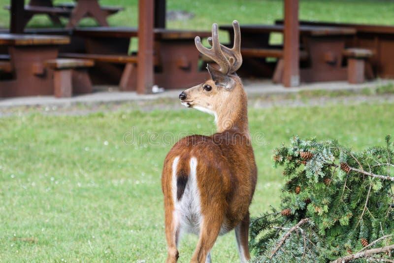 Deer on Newcastle Island. Deer roam freely on Newcastle Island, across from Nanaimo, BC, Canada stock photo