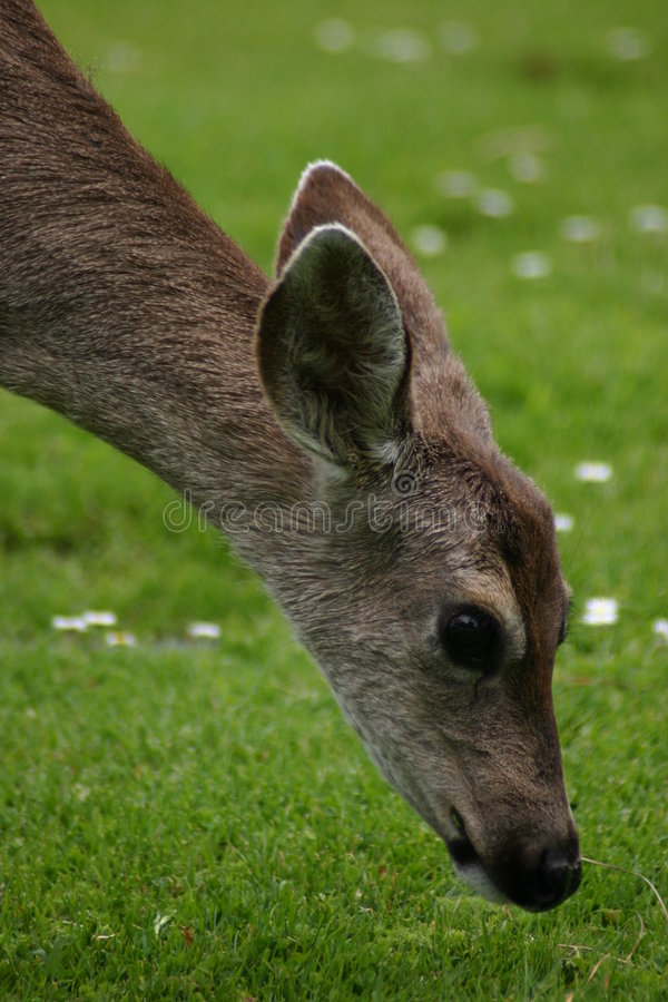 Deer Nibbling royalty free stock images