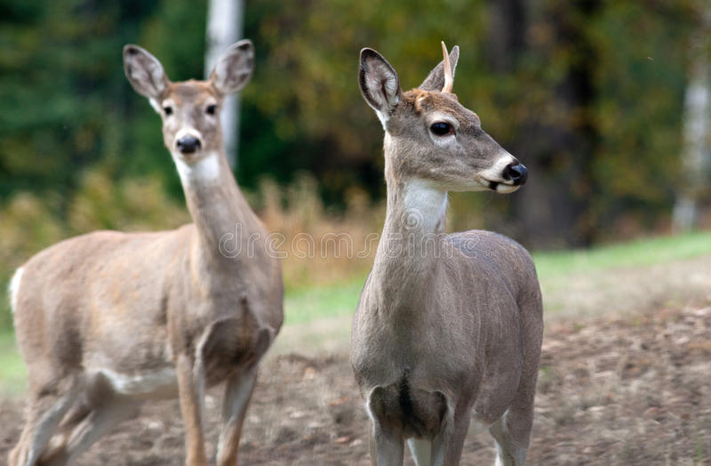Deer with one antler.