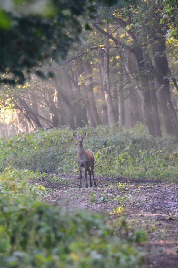 Deer in the Oostvaardersplassen Netherlands. I saw this deer in the morning in the Oostvaardersplassen Netherlands stock photography